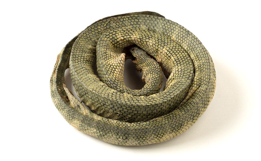 海蛇(エラブウミヘビ)